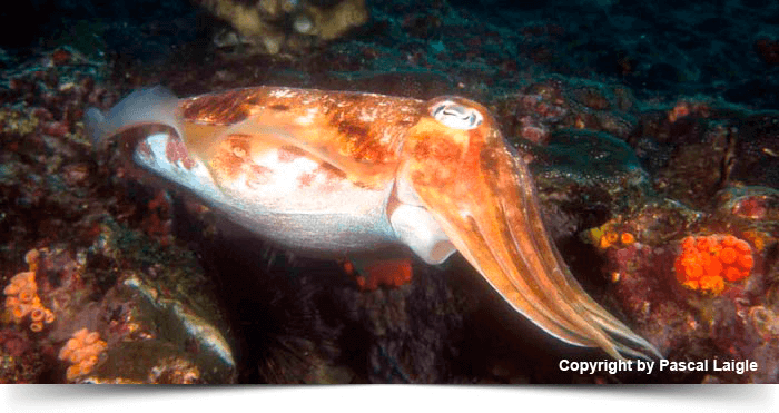 south_east_asia_dreams_gallery_diva-andaman-thailand-myanmar-10-days-cruise-cuttlefish_1425281512.3171