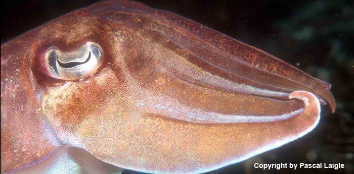 south_east_asia_dreams_gallery_thailand-myanmar-burma-8-days-safari-cuttlefish_1425272317.5075